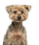 老约克夏狗的特写镜头与大瀑布(16岁的 库存图片