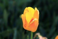 老练和骄傲的开花的春天孤独的郁金香 库存照片