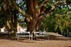 老结构树和长凳 免版税库存照片