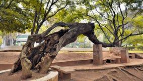 老结构树在公园 库存照片