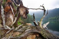 老结构树在黑色湖 图库摄影