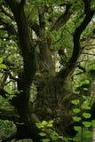 老绿色橡木 库存照片