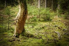 老美丽的死的树在生苔具球果森林里 图库摄影