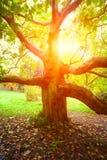 老美国梧桐树和太阳光 库存照片