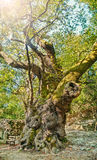 老美国梧桐树明亮地点燃与阳光 免版税库存照片
