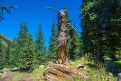 老腐烂的树干和天山冷杉的绿色 免版税库存照片