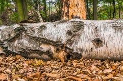 老腐烂的树干 免版税库存图片