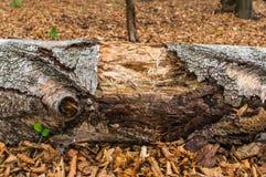 老腐烂的树干 图库摄影