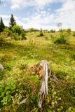 老腐烂的树桩 库存图片