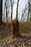 老腐烂的生苔树干 库存照片