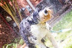 老英国护羊狗浸泡湿和震动 免版税库存图片