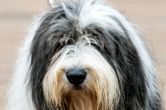 老英国护羊狗肖象  免版税库存照片