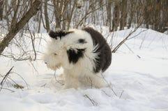 老英国护羊狗 免版税图库摄影