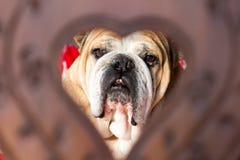 老英国牛头犬在心脏 免版税库存图片
