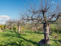 老苹果树果树园 图库摄影