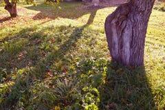 老苹果树树干在晴朗的秋天果树园 免版税库存照片