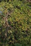 老苹果结构树 图库摄影