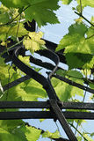 老荷兰温室屋顶的年轻葡萄植物  免版税库存照片