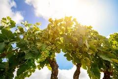 老葡萄园用红葡萄酒葡萄在阿连特茹酒区域在埃武拉,葡萄牙附近 免版税库存照片