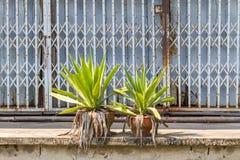 老蓝色金属快门在泰国,有双龙舌兰绿色植物的闭合的金属快门在商店前面 库存照片
