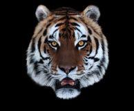 老虎与在黑色隔绝的张的嘴的` s面孔 免版税库存图片
