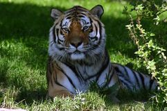 老虎休息在树荫下 免版税库存图片