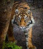 老虎偷偷靠近的牺牲者 免版税图库摄影