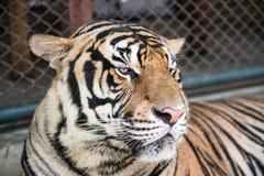 老虎公园在清迈 图库摄影