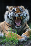 老虎吼声 免版税库存图片