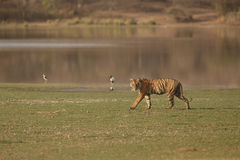 老虎和湖 免版税库存照片