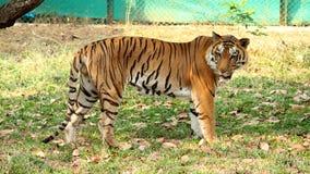 老虎在全国动物园印度里 免版税库存照片