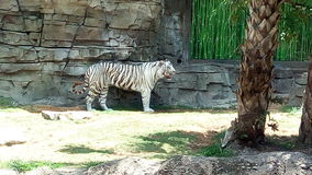 老虎在公园 库存照片