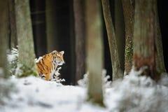 老虎在冬天森林里 免版税库存图片