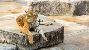 老虎在动物园是最佳的照片 免版税库存照片