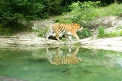 老虎在动物园苏黎世里 免版税图库摄影