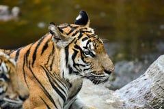 老虎在动物园里,老虎是一个剧烈动物 图库摄影