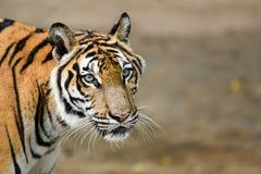 老虎在动物园里,老虎是一个剧烈动物 免版税图库摄影