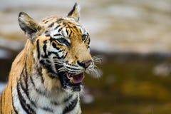 老虎在动物园里,老虎是一个剧烈动物 免版税库存图片