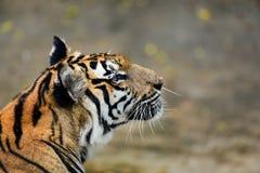 老虎在动物园里,老虎是一个剧烈动物 免版税库存照片