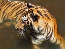 老虎在动物园里 免版税库存图片