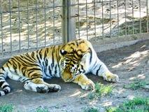 老虎在动物园里 库存图片