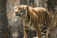 老虎在大森林里 免版税图库摄影