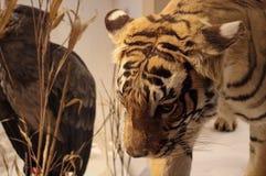 老虎在安大略博物馆 免版税图库摄影