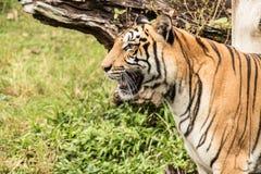 老虎在密林 库存图片
