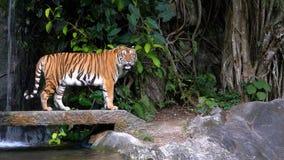 老虎在岩石走在瀑布附近 泰国 股票录像