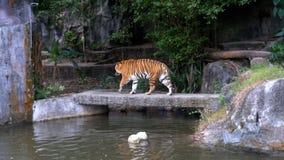 老虎在岩石走在瀑布附近 泰国 股票视频