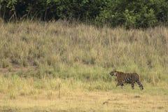 老虎在平衡的几小时草原寻找一个牺牲者 免版税库存照片