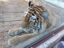 老虎在徒步旅行队公园 库存图片