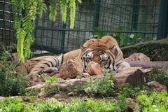 老虎在徒步旅行队动物园里 库存图片