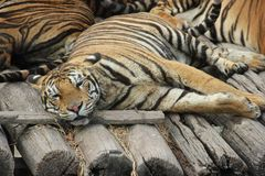 老虎在曼谷徒步旅行队动物园里 免版税图库摄影